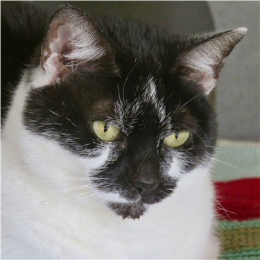 Loving home needed for 'beauty queen' black-and-white cat