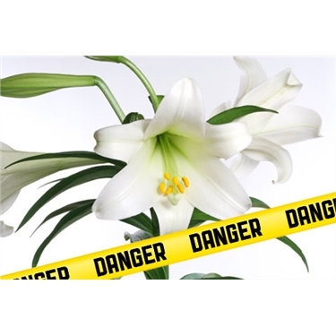 Lillies can Kill your cat!!