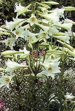 Lillies Can Kill