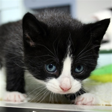 Can you provide a loving new home to a CP kitten?