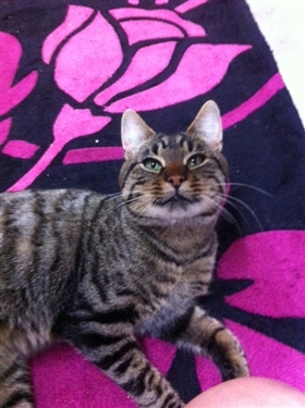 Tabby found in Pencader