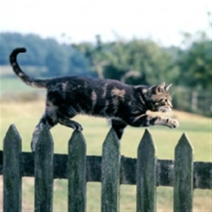 Tabby cat walking along top of fence