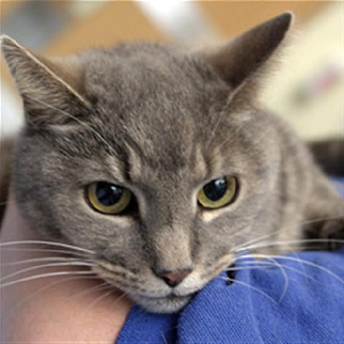 Grey cat being held