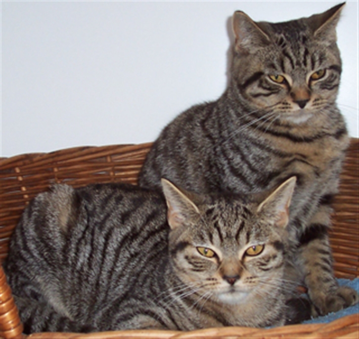 Two of a group of three tabbies we homed