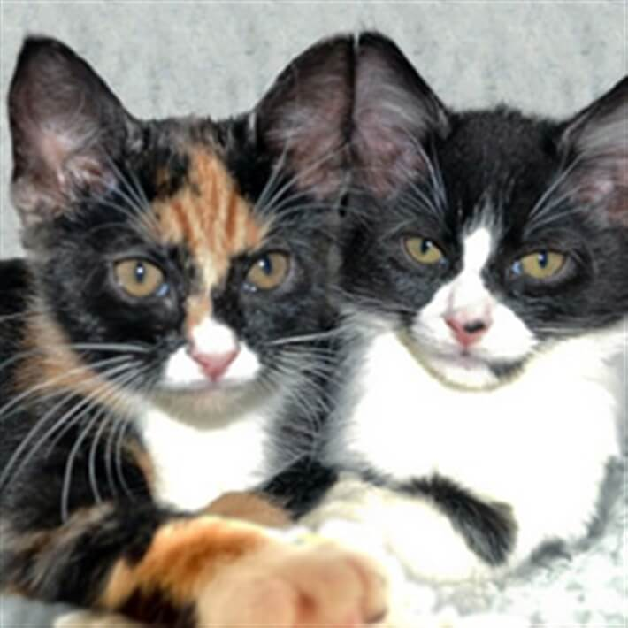 Tortie and black and white cat