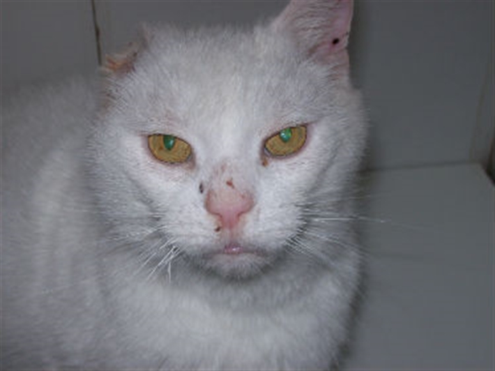 Cat Ear Squalous Cell Carcinoma