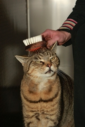 Tabby being brushed